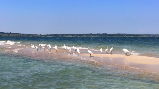 Little Egrets standing close to the shore in Lake Victoria