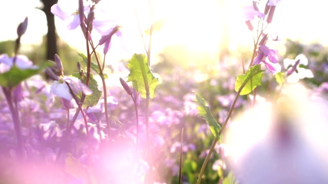 little flowers at sunset - spring stock videos & royalty-free footage
