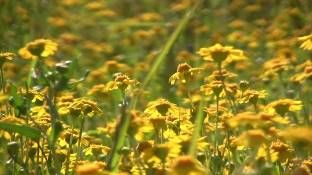 Little Flowers V.3 (HD) Little flowers in a field. (1080i source) 笹 stock videos & royalty-free footage
