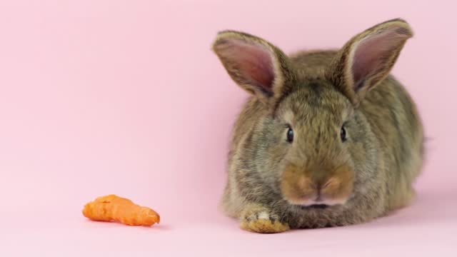 little fluffy rabbit eats carrot on a colored background. Little bunny funny eats carrots on a background in the studio. Easter hare concept for easter holiday. Spring tradition