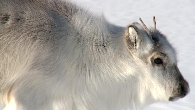 little fluffy reindeer looking at the camera. - norrbotten bildbanksvideor och videomaterial från bakom kulisserna