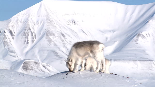 little fluffy reindeer looking for food in the snow against the backdrop of the northern mountains. - norrbotten bildbanksvideor och videomaterial från bakom kulisserna