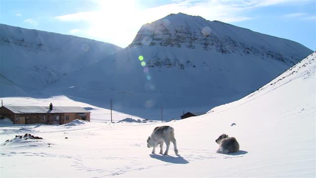 little fluffy reindeer looking for food in the snow against the backdrop of the northern mountains. longyearbyen, svalbard. - norrbotten bildbanksvideor och videomaterial från bakom kulisserna