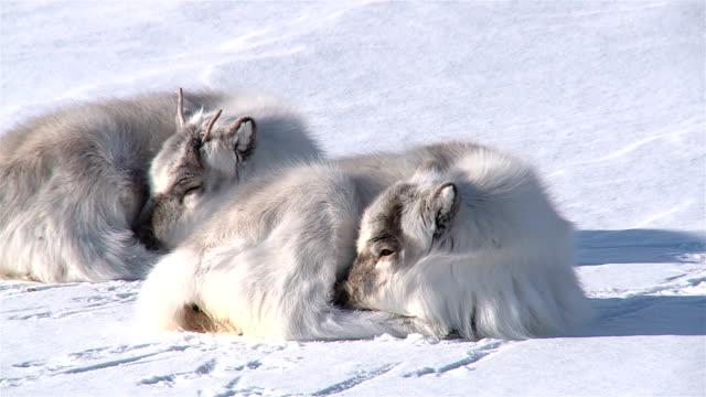 little fluffy reindeer lying on the snow. longer, svalbard. - norrbotten bildbanksvideor och videomaterial från bakom kulisserna