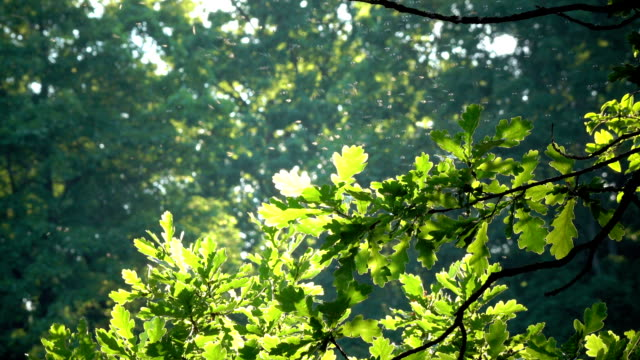 Little flying insects fly in bright beams of the sun among green leaves of a tree video