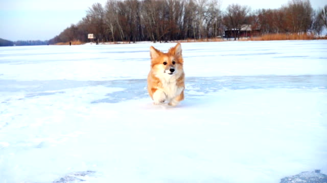 little funny corgi fluffy puppy walking outdoors video