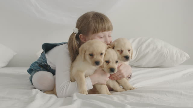 Little girl hugs three puppy labrador on a bed