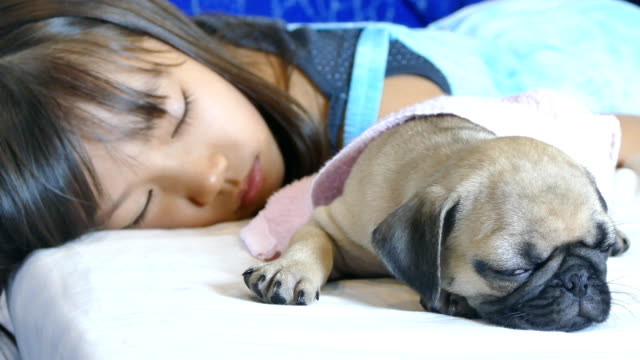 Little girl sleeping on the bed with fawn and black pug puppy ビデオ