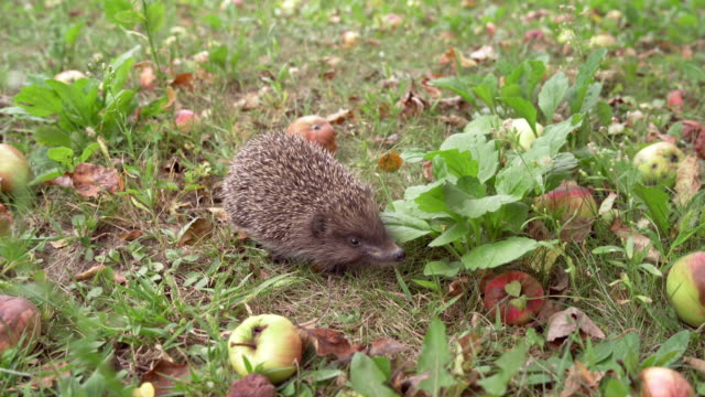Bидео Little gray hedgehog in the garden among organic apples.