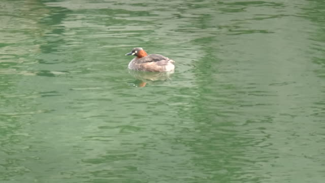 little grebe swims on the moat in kyoto - svasso video stock e b–roll
