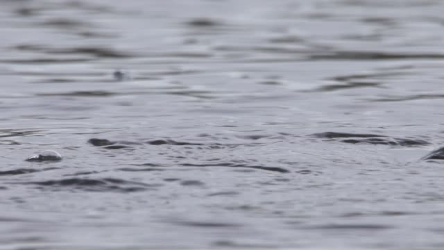 little grebe (tachybaptus ruficollis) - svasso video stock e b–roll