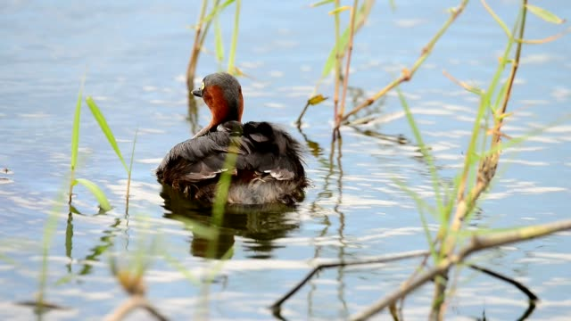 little grebe ( tachaybaptus ruficollis ) with   babies  on the back at floating nest. - svasso video stock e b–roll