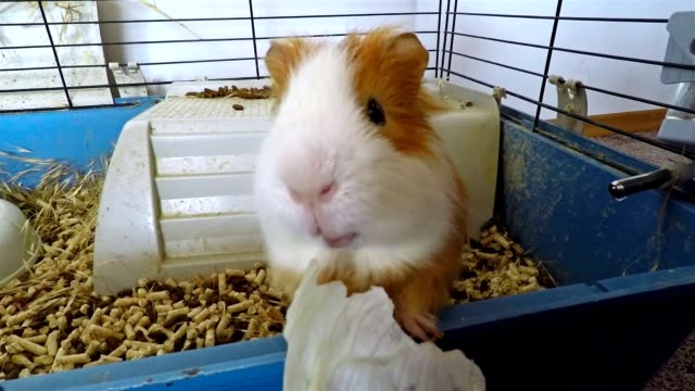 Cerditos de guinea comer su ensalada. - vídeo
