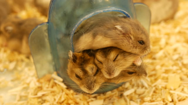 little Guinea pigs sleep together video