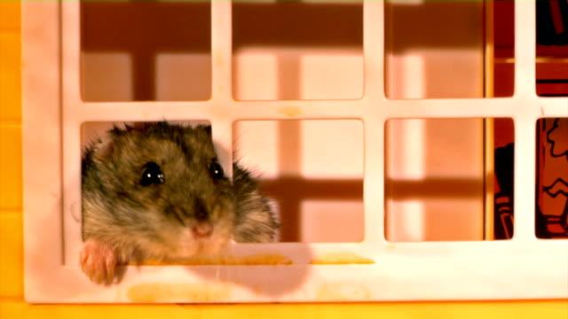 little hamster video