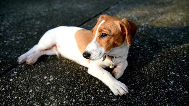 Little Jack Russell Terrier dog looking to camera video