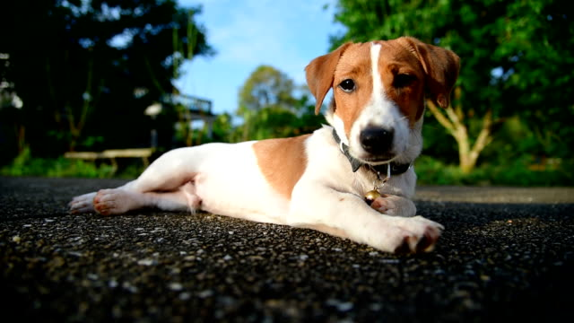 little jack russell terrier dog looking to camera - terrier video stock e b–roll