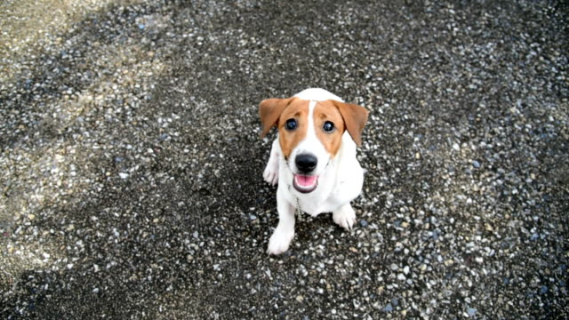 Little Jack Russell Terrier dog looking to camera Little Jack Russell Terrier dog looking to camera jack russell terrier stock videos & royalty-free footage