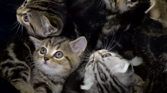 Little kittens scottish fold and straight are sitting in an enclosed space Small striped kittens sit in an enclosed space and look up large group of objects stock videos & royalty-free footage