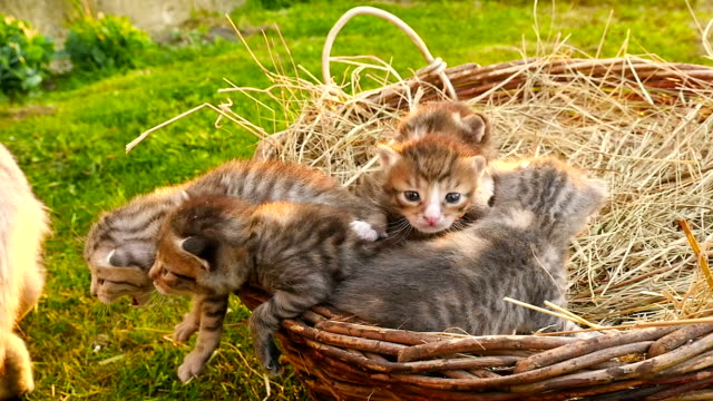 Little kittens with a cat. HD video