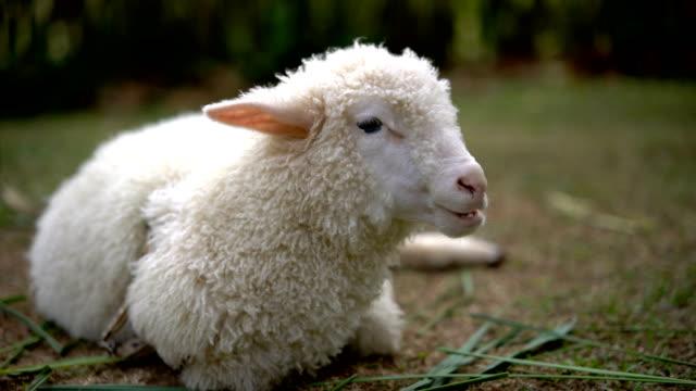 Little lamb eating grass outdoor.