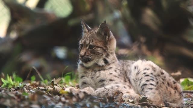 a little lynx lies in leaves - молодое животное стоковые видео и кадры b-roll