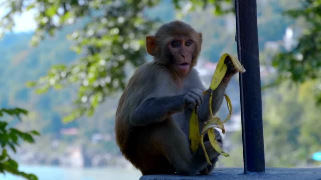 küçük bir maymun bir taş çit oturur ve muz derisi yiyor - makak maymunu stok videoları ve detay görüntü çekimi