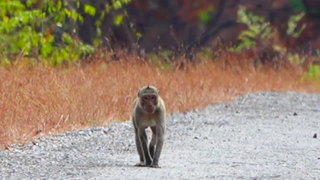 Little monky walking on the local road