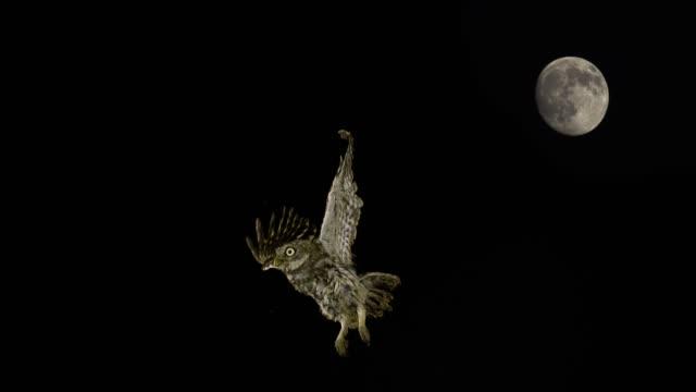 금 눈 쇠 올빼미, 아테나 noctua, 비행 중에 성인, 보름달, 노르망디 프랑스, 슬로우 모션 4 k에서 - 하늘을 나는 새 스톡 비디오 및 b-롤 화면