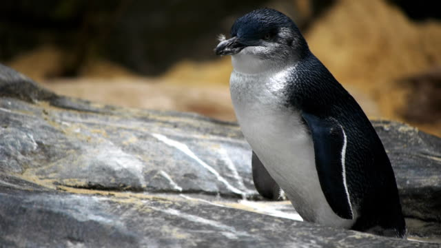 mały pingwin - pingwin filmów i materiałów b-roll