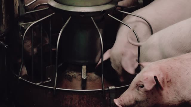 Little pigs for rearing isolated, eat from the trough