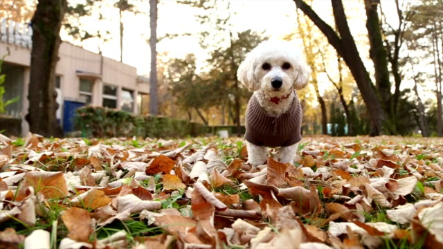 cane allegro - bichon frisé video stock e b–roll