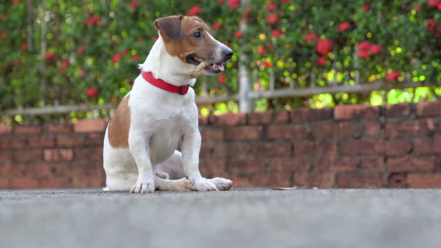 Little playful Jack Russell Terrier dog playing in garden in morning Little playful Jack Russell Terrier dog playing in garden in morning jack russell terrier stock videos & royalty-free footage