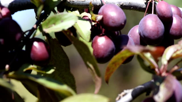 Little plum on a branch Little plum on a branch in a summer day in the garden close up of a video footage plum stock videos & royalty-free footage