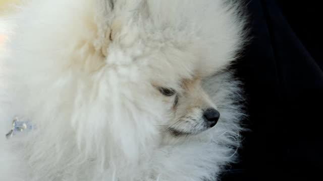 little Pomeranian dog video