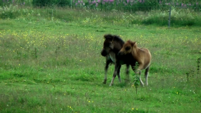 little ponys are running in meadow