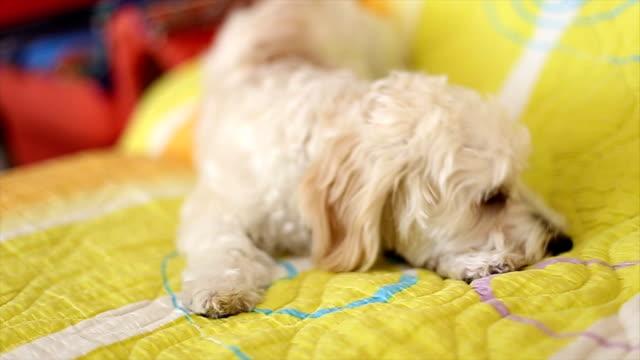 Little Poodle barking video