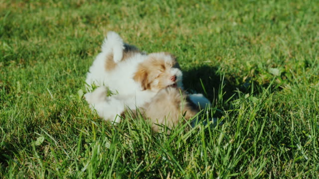 Little puppies are fun playing in the grass video