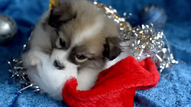 Little puppy plays with Christmas decorations. video