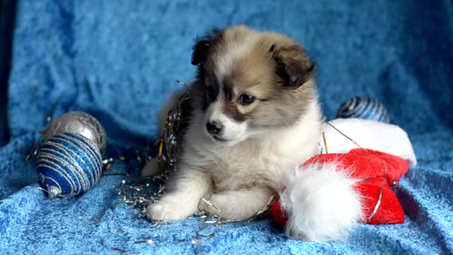 little puppy plays with christmas decorations. - copricapo abbigliamento video stock e b–roll