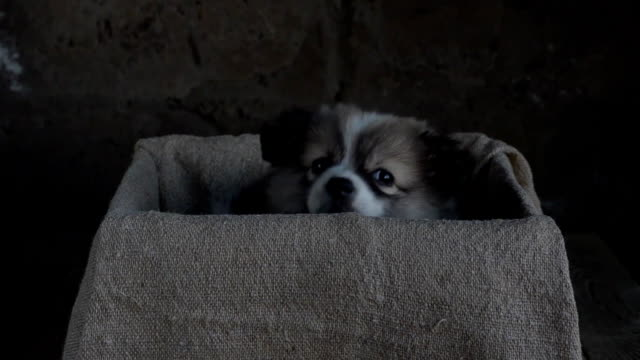 Little puppy sitting in a box video
