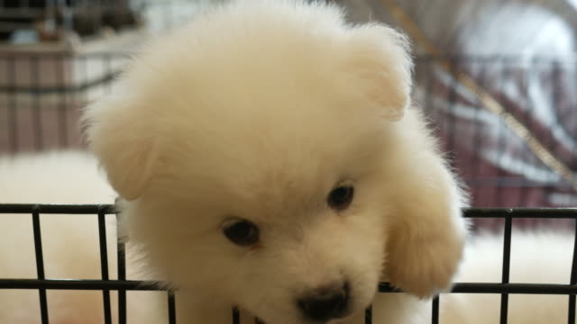 little puppy little white puppy Japanese Spitz in cage puppy stock videos & royalty-free footage
