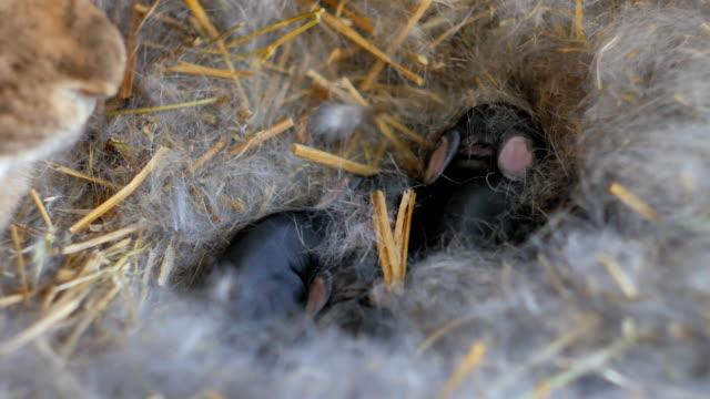 lilla kanin mamma med unga kaniner i gård - däggdjur bildbanksvideor och videomaterial från bakom kulisserna