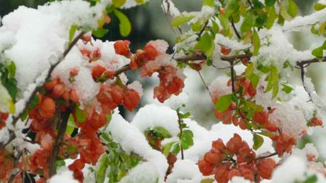 Little red flowers freeze under the snow video