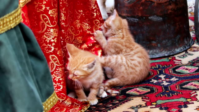 Little red homeless kittens play with each other on the street in Baku,Azerbaijan video