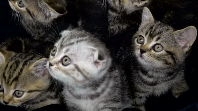 Little scottish fold and straight kittens are sitting in an enclosed space Small striped kittens sit in an enclosed space and look up large group of objects stock videos & royalty-free footage