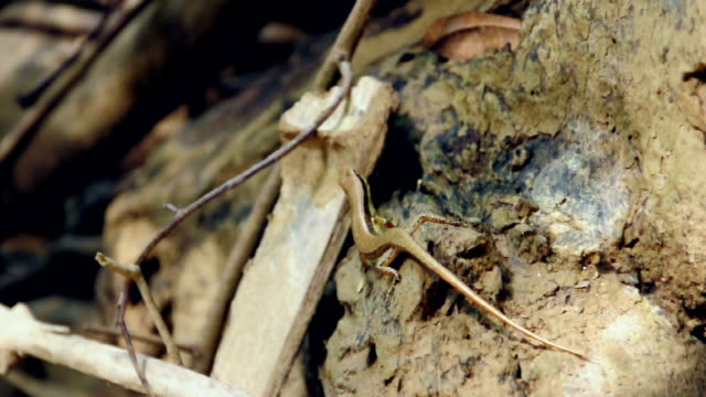 Little skink lizard in the forest at National Park, Thailand. Little skink lizard in the forest at National Park, Thailand. (HD footage with sound) skink stock videos & royalty-free footage