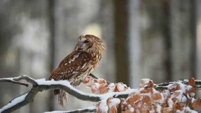 küçük tawny baykuş (strix aluco) kar kaplı bir ağaç dalı üzerinde oturan - etçiller stok videoları ve detay görüntü çekimi