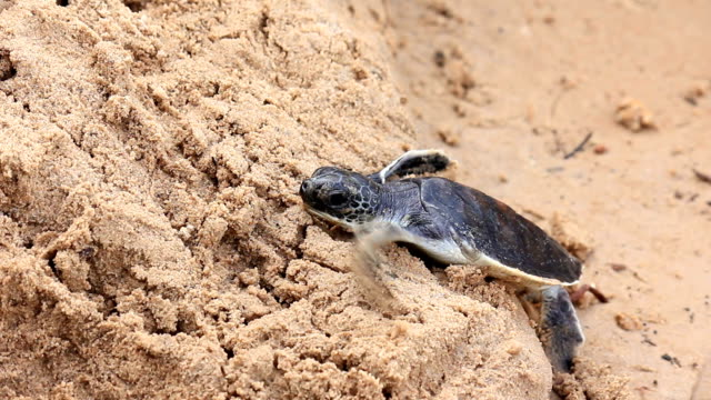 Little turtle clamber sand on the beach video