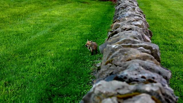 Little Wild Fox Pup video